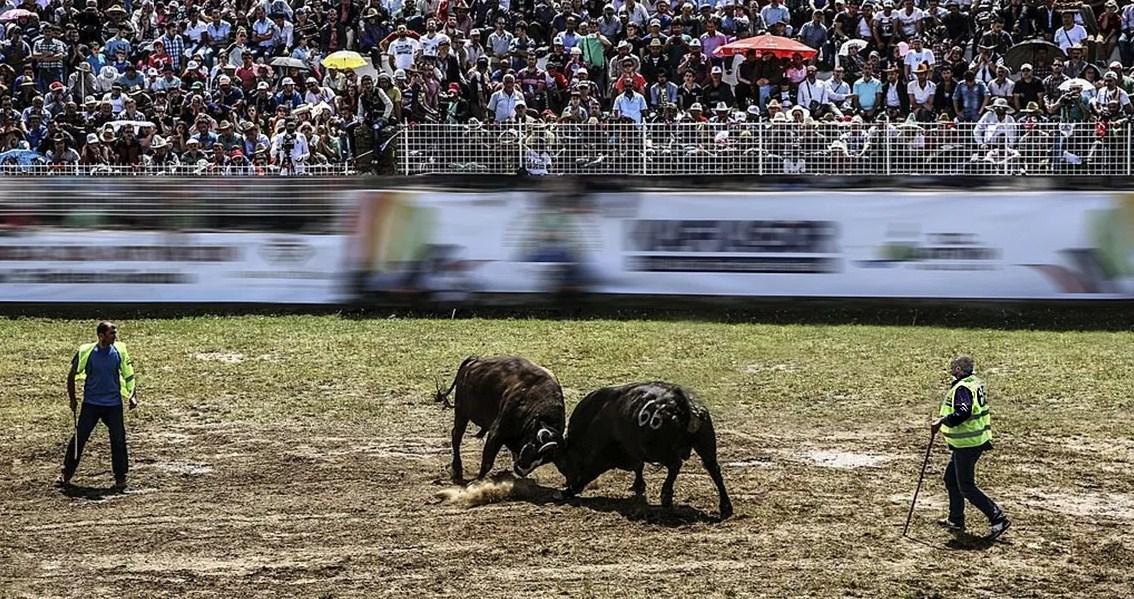 Festival Adu Banteng