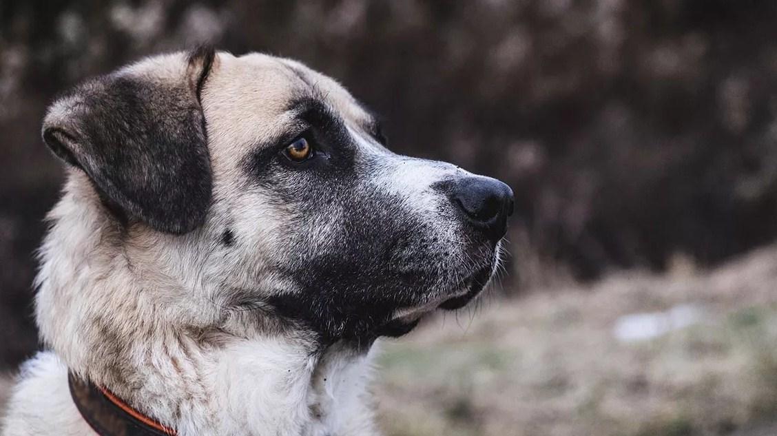 Anjing Kangal Turki