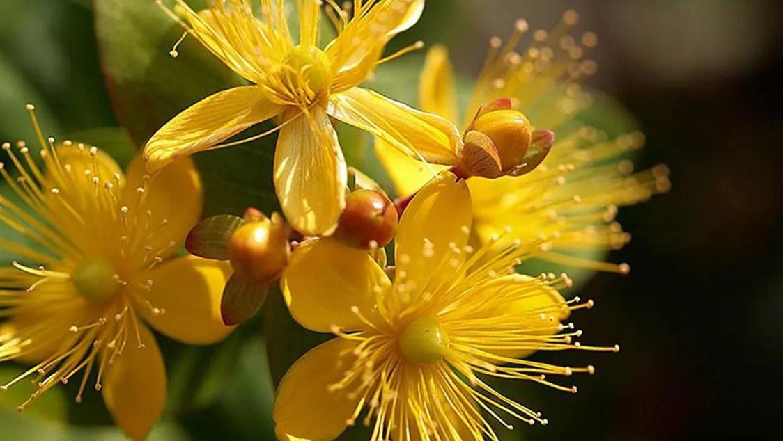 Bunga Kantaron