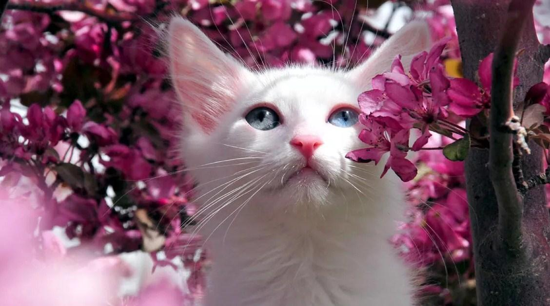 Kucing Van-Van Cat Turki