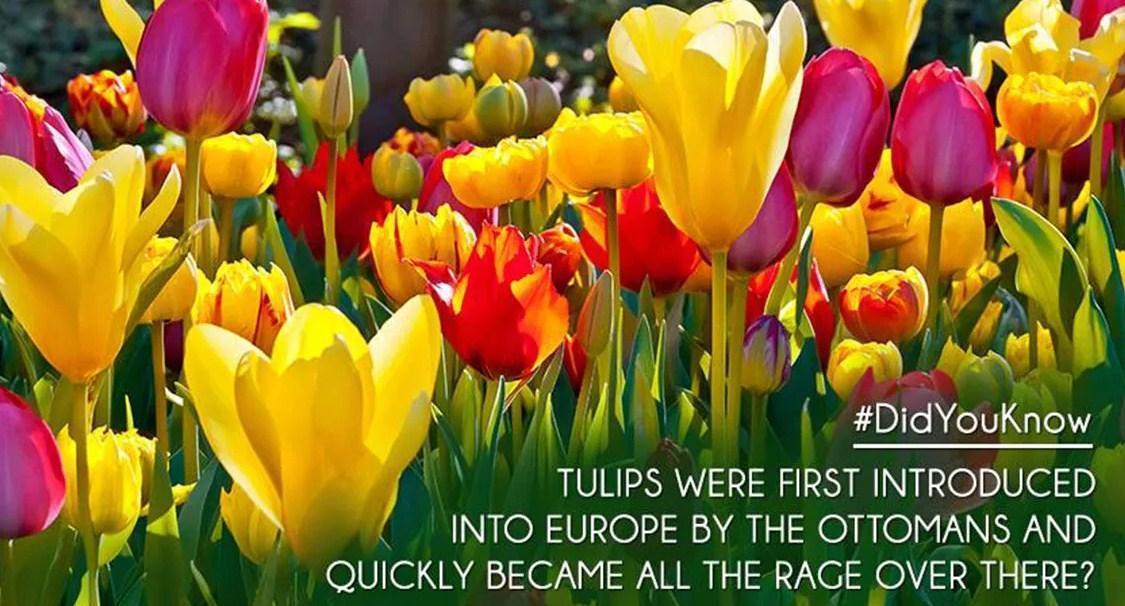 apakah anda tahu tentang tulip